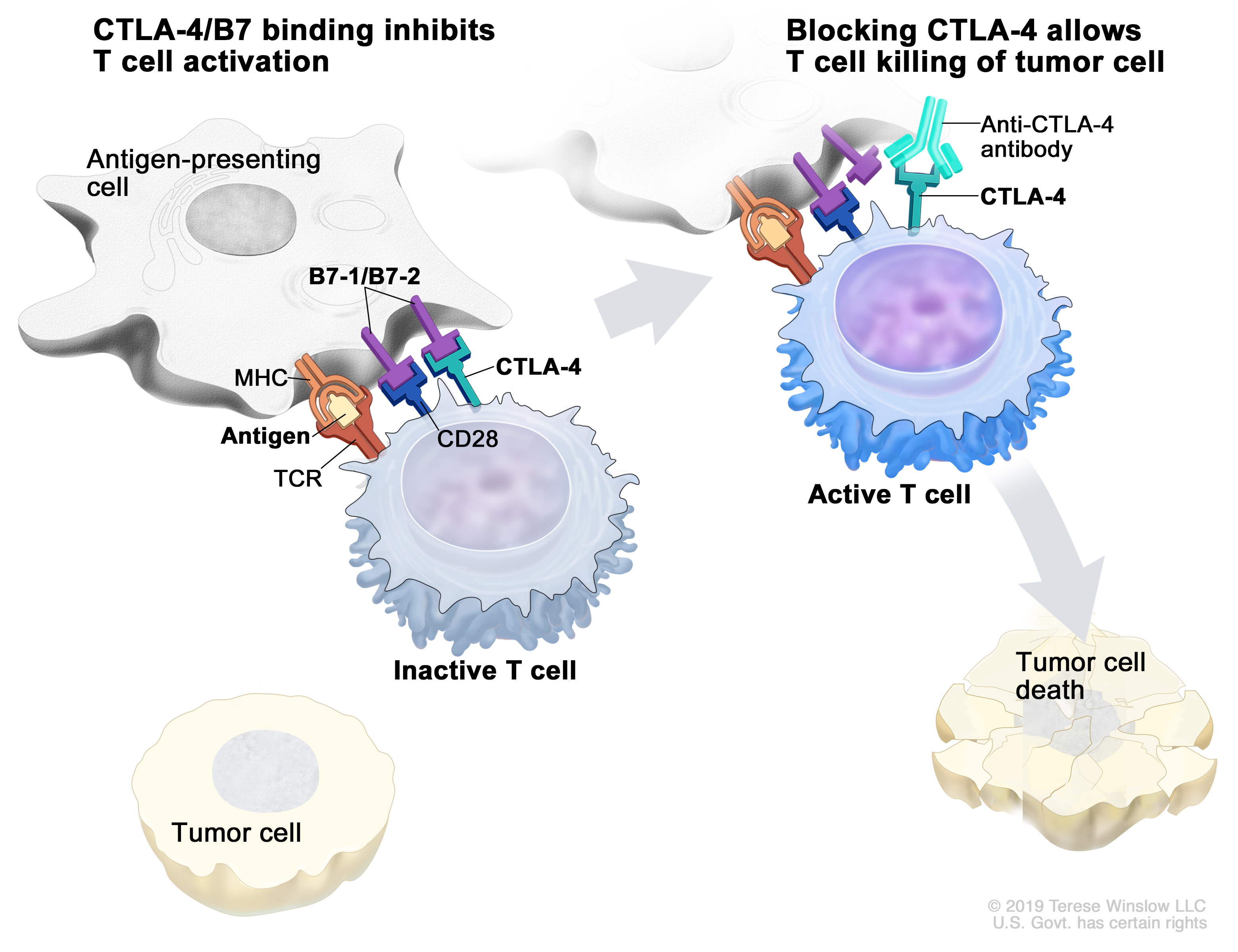 Immune checkpoint inhibitor; the panel on the left shows the binding of the T-cell receptor (TCR) to antigen and MHC proteins on the antigen-presenting cell (APC) and the  binding of CD28 on the T cell to B7-1/B7-2 on the APC. It also shows the binding of B7-1/B7-2 to CTLA-4 on the T cell, which keeps the T cells in the inactive state. The panel on the right shows immune checkpoint inhibitor (anti-CTLA antibody) blocking the binding of B7-1/B7-2 to CTLA-4, which allows the T cells to be active and to kill tumor cells.