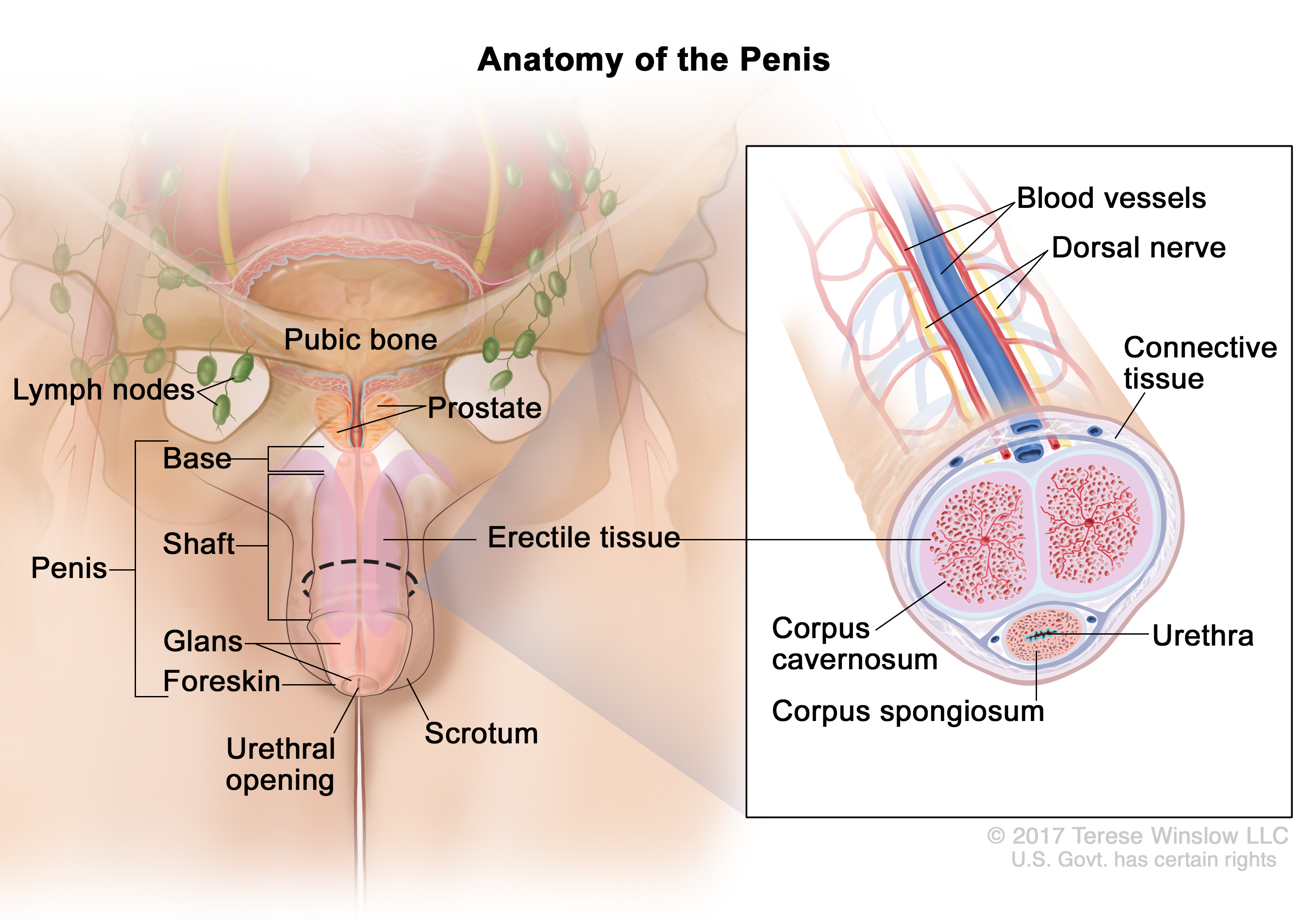 The role of ultrasound in the diagnosis of penile fracture