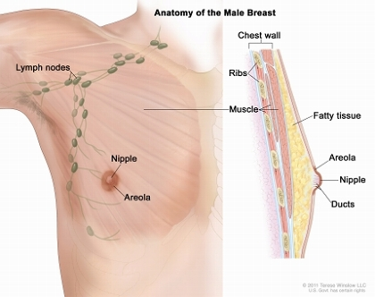 Anatomy of the male breast; drawing shows the nipple, areola, fatty tissue, ducts, nearby lymph nodes, ribs, and muscle.